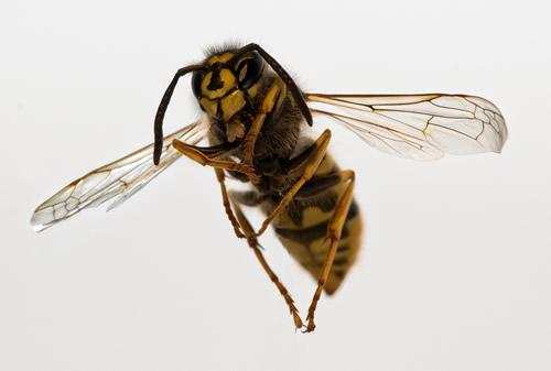 ハチの駆除