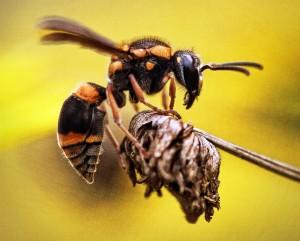 スズメバチの退治